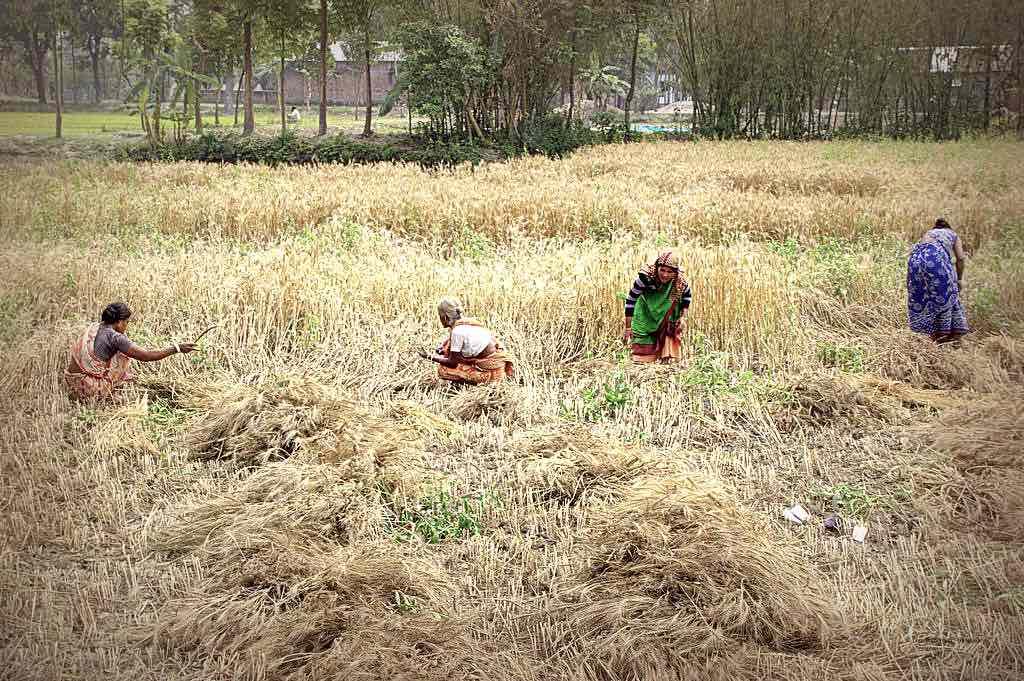 Frauen bei Feldarbeit in Bangladesh © Tom Rübenach